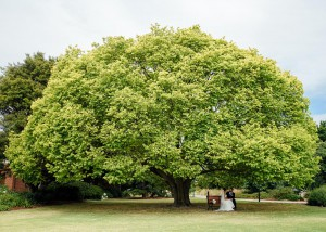 Huge tree with wedding couple under it